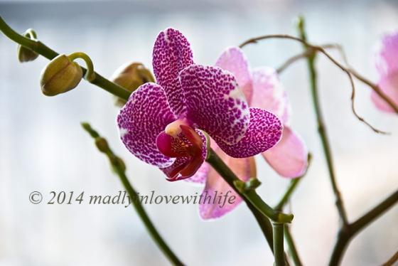 OrchidOPT2