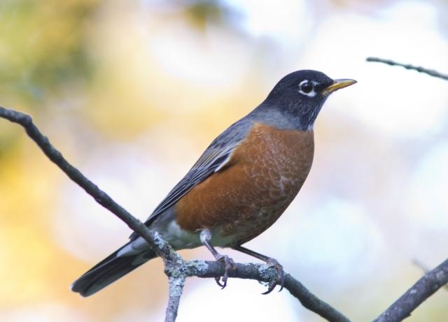 American Robin (photograph by Caleb G. Putnam)