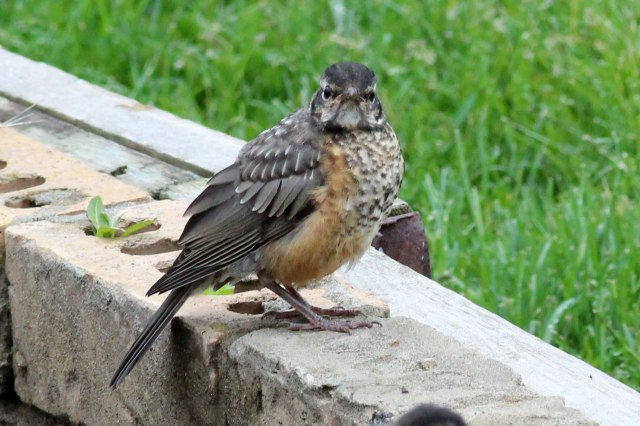 "A juvenile fledgling robin with a speckled breast. I once saw them described somewhere as having an ""adorably grumpy and somewhat baffled look"" which, happily, they grow out of (photograph by Arthur Chapman)."